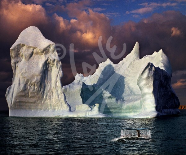 Little Harbour, iceberg and humpback