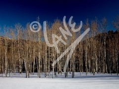 UTAH Birches in Winter