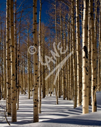 UTAH Birch Trees in Winter