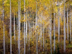 UTAH Birch Trees in Autumn