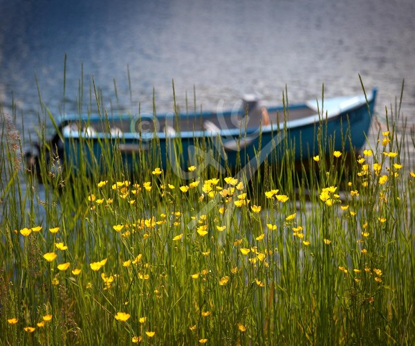 Purbeck's Cove buttercups