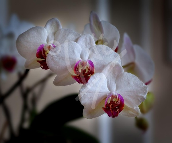 ITALY Orchids