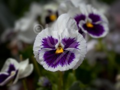 FRANCE Pansy