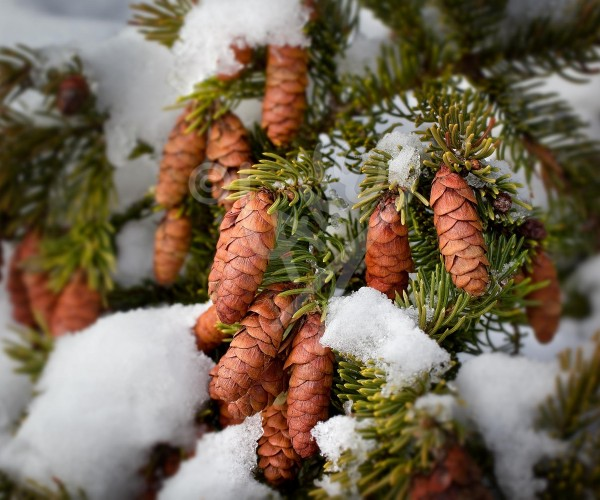 St. John's, spruce cones in winter