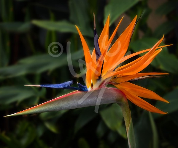 TASMANIA Bird of Paradise